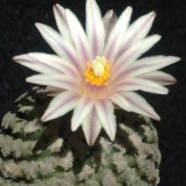 Gymnocactus valdezianus. Вік рослини: 20 р.(з 1990р.). Власник: Я.П.Джура. Фото: Я.П.Джура.