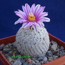 Gymnocactus valdezianus. Власник: А.Ю.Печерський. Фото: А.Ю.Печерський.