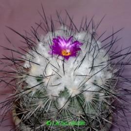 Gymnocactus viereckii. Вік рослини: 19 р.(з 1995р.). Власник: Я.П.Джура. Фото: Я.П.Джура.