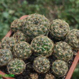 Lobivia arachnacantha. Молоді рослини. Власник: Я.П.Джура. Фото: Я.П.Джура.