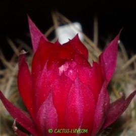 Lobivia boliviensis. Вік рослини: 6 р.(з 2008 р.). Власник: Я.П.Джура. Фото: Я.П.Джура.