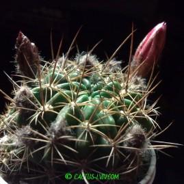 Lobivia cinnabarina. Вік рослини: 6 р.(з 2008 р.). Власник: Я.П.Джура. Фото: Я.П.Джура.