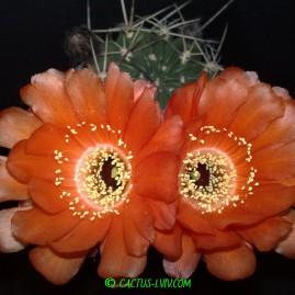 Lobivia culpinensis. Вік рослини: 13 р.(з 2000 р.). Власник: Я.П.Джура. Фото: Я.П.Джура.