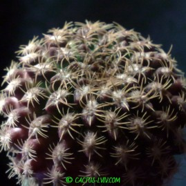 Neochilenia odieri (MG 1036.26). Щеплення, вік: 2 р. Власник: Я.П.Джура. Фото: Я.П.Джура.