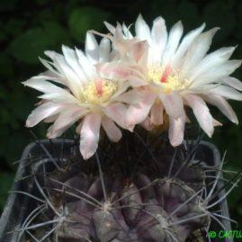Neochilenia paucicostata KK 1303. Рослина у віці 12 р. Власник: Я.П.Джура. Фото: Я.П.Джура.