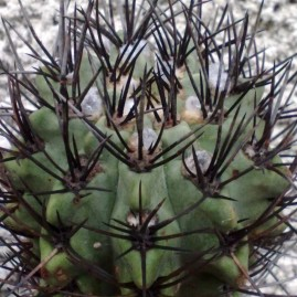 Neochilenia paucicostata. Вік рослини: 21 р. Власник: Я.П.Джура. Фото: Я.П.Джура.