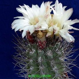 Neochilenia paucicostata. Власник: А.Ю.Печерський. Фото: А.Ю.Печерський.