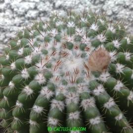Notocactus herteri. Вік: 22 р. (посів 1993 р.). Власник: Я.П.Джура. Фото: Я.П.Джура.