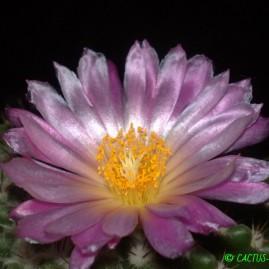 Notocactus herteri. Перше цвітіння у віці 22 р. (посів 1993 р.). Власник: Я.П.Джура. Фото: Я.П.Джура.