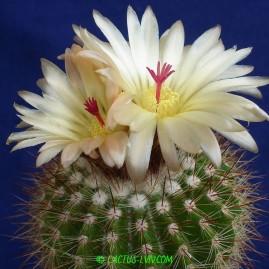 Notocactus horstii. Власник: А.Ю.Печерський. Фото: А.Ю.Печерський.