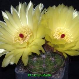 Notocactus ottonis. Вік: 9 р. Власник: Я.П.Джура. Фото: Я.П.Джура.