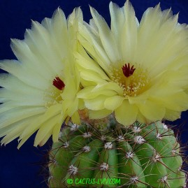 Notocactus ottonis. Власник: А.Ю.Печерський. Фото: А.Ю.Печерський.