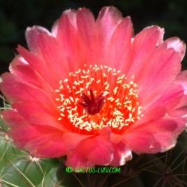 Notocactus ottonis v.vencluianus. Вік: 11 р. (посів 1999 р.). Власник: Я.П.Джура. Фото: Я.П.Джура.