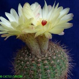 Notocactus parviflorus =  Notocactus concinnus v.parviflorus. Власник: А.Ю.Печерський. Фото: А.Ю.Печерський.