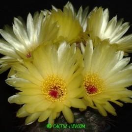 Notocactus tabularis. Вік: 19 р. Власник: Я.П.Джура. Фото: Я.П.Джура.