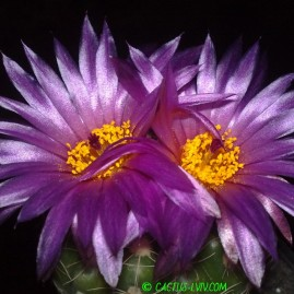 Notocactus uebelmannianus. Молода рослина, вік 6 р. Власник: Я.П.Джура. Фото: Я.П.Джура.