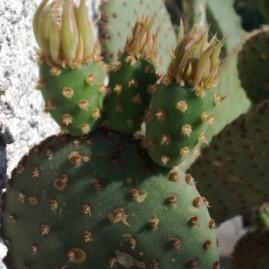 O. microdasys v.rufida. Теплолюбна. Без колючок. Росте кущем до 0,6м висоти і 0,3-0,5м в діаметрі. Власник: Я.П.Джура. Фото: Я.П.Джура.