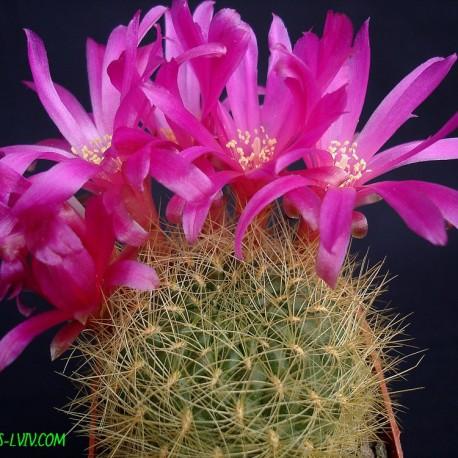 Sulcorebutia swobodae