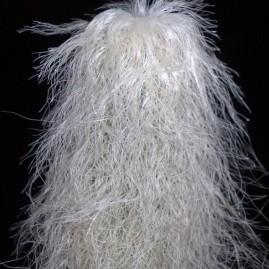 Cephalocereus senilis. Верх стебла 11 см, повна висота - 42 см. Вік рослини: 20 р. Власник: Я.П.Джура. Фото: Я.П.Джура.