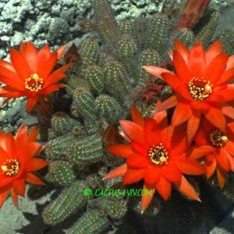 """Chamaecereus silvestrii – """"дітки"""" невкорінені"""
