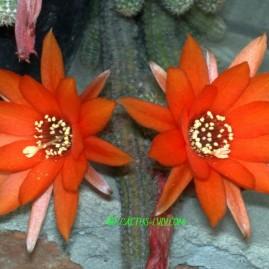 Chamaecereus silvestrii. Рослина з 1983 р. Власник: Я.П.Джура. Фото: Я.П.Джура.