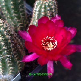 Chamaelobivia cv.Rose Quartz(=cv.Violet). Вік: 1 р. Власник: Я.П.Джура. Фото: Я.П.Джура.
