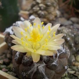 Copiapoa hypogaea. Вік рослини: 10 р. Власник: І.Б.Маринюк. Фото: І.Б.Маринюк.