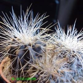 Copiapoa krainziana v.scopulina Quebrada San Ramon. Рослини у віці 3 р. Власник: Я.П.Джура. Фото: Я.П.Джура.