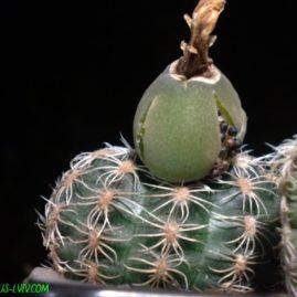 Gymnocalycium bruchii. Власник: Я.П.Джура. Фото: Я.П.Джура.
