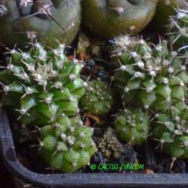 Gymnocalycium friedrichii LB 2178 Agua Dulce. Сіянці у віці 1 р. Власник: Я.П.Джура. Фото: Я.П.Джура.