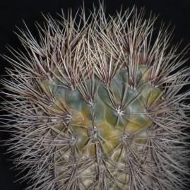 Gymnocalycium gibbosum v.nobile. Вік рослини: 20 р. Власник: Я.П.Джура. Фото: Я.П.Джура.