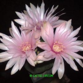 Gymnocalycium horstii v.buenekeri. Вік рослини: 22 р. Власник: Я.П.Джура. Фото: Я.П.Джура.