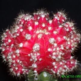 Gymnocalycium mihanovichii f.rubra (Hibotan). Щеплення, вік: 3 р. Власник: Я.П.Джура. Фото: Я.П.Джура.