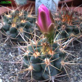 Gymnocalycium neuhuberi GN 89-77/363 Suyuque Nuevo, San Luis, Arg. Сіянці віком 2 р. Власник: Я.П.Джура. Фото: Я.П.Джура.