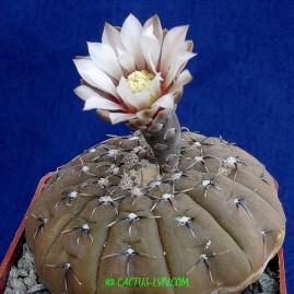 Gymnocalycium platigonum. Власник: А.Ю.Печерський. Фото: А.Ю.Печерський.