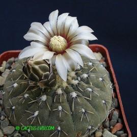 Gymnocalycium pseudoragonesii. Власник: А.Ю.Печерський. Фото: А.Ю.Печерський.