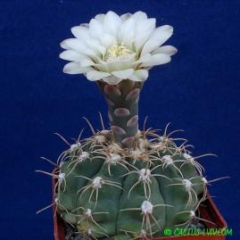 Gymnocalycium quehlianum. Власник: А.Ю.Печерський. Фото: А.Ю.Печерський.