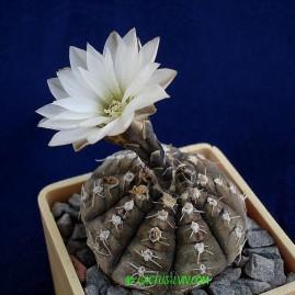 Gymnocalycium ragonesii. Власник: А.Ю.Печерський. Фото: А.Ю.Печерський.