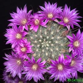 Krainzia longiflora. Вік рослини: 19 р. Власник: Я.П.Джура. Фото: Я.П.Джура.