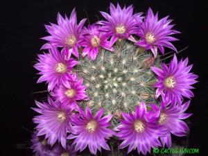 Krainzia longiflora