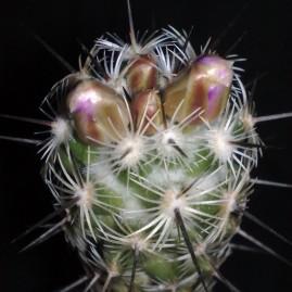 Neolloydia conoidea. Вік рослини: 7 р. Власник: Я.П.Джура. Фото: Я.П.Джура.