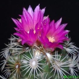 Neolloydia grandiflora. Щеплення, вік: 2 р. Власник: Я.П.Джура. Фото: Я.П.Джура.