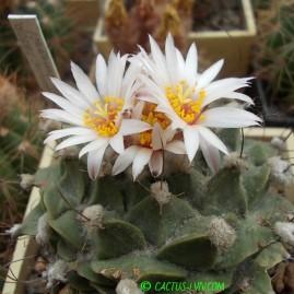 Obregonia denegrii. На власному корінні. Вік рослини: 24 р.(посів 1990 р.). Власник: І.Б.Маринюк. Фото: І.Б.Маринюк.