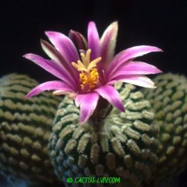 Pelecyphora pseudopectinata v.rubriflora RS 305 La Escondida, NL. Щеплення, вік: 1 р. і 3 міс. Власник: Я.П.Джура. Фото: Я.П.Джура.