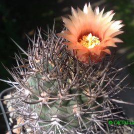 Pyrrhocactus bulbocalyx DJF 398 Villa Mervin, La Rioja, Arg. Перше цвітіння у віці 10 р. Власник: Я.П.Джура. Фото: Я.П.Джура.