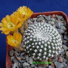 Rebutia krainziana v.aureiflora. Власник: А.Ю.Печерський. Фото: А.Ю.Печерський.