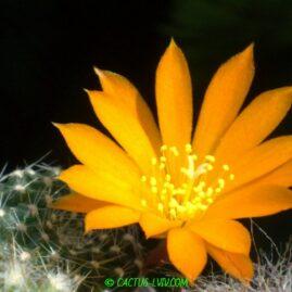 Rebutia krainziana v.aureiflora f.grandiflora. Молода рослина у віці 3 р. Власник: Я.П.Джура. Фото: Я.П.Джура.