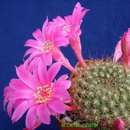 Rebutia violaciflora. Власник: А.Ю.Печерський. Фото: А.Ю.Печерський.