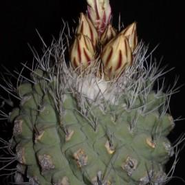 Strombocactus disciformis. Рослина з 1982 р. Власник: Я.П.Джура. Фото: Я.П.Джура.