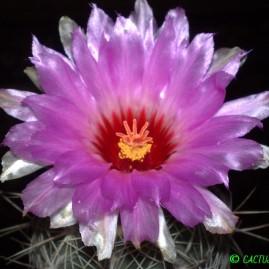Thelocactus bicolor v.tricolor. Вік: 15 р. (посів 1999 р.). Власник: Я.П.Джура. Фото: Я.П.Джура.